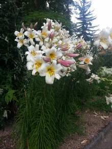 liliaceae       lilium       regale              lys royal