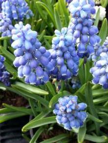 hyacinthaceae       muscari       armeniacum              Muscari d'Arménie