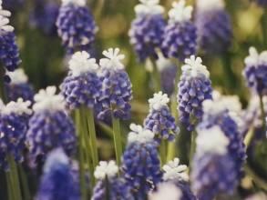hyacinthaceae       muscari       aucheri       Mount Hood       muscari