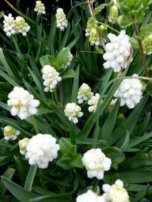 hyacinthaceae       muscari       aucheri       White Magic       muscari