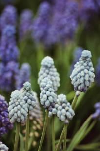 hyacinthaceae       muscari              Valerie Finnis       muscari