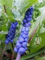 hyacinthaceae       muscari       parviflorum              muscari