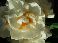 amaryllidaceae       narcissus       double       Bridal Crown       narcisse