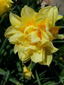 amaryllidaceae 