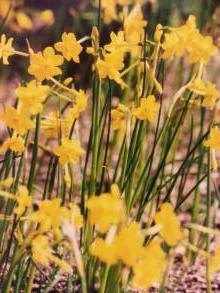 amaryllidaceae       narcissus       jonquilla       var. henriquesii       Narcisse-jonquille