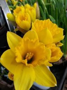 amaryllidaceae       narcissus       obvallaris              narcisse, jonquille