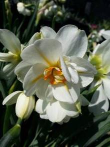 """amaryllidaceae       narcissus       poeticus double       Albus Plenus Odoratus       """"narcisse du poète"""" double"""