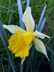 amaryllidaceae       narcissus       pseudonarcissus       Lobularis       narcisse, jonquille