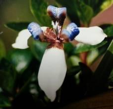 iridaceae       neomarica                     neomarica