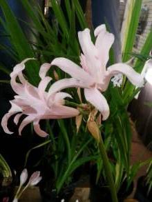 amaryllidaceae       nerine              Albivetta       nérine