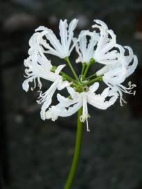 amaryllidaceae       nerine       flexuosa       Alba       nérine