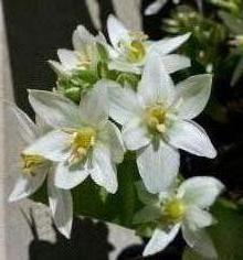 hyacinthaceae       ornithogalum       balansae              ornithogale