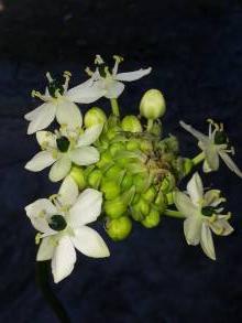 hyacinthaceae       ornithogalum       saundersiae              ornithogale