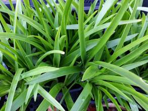 hyacinthaceae       ornithogalum       thyrsoides              ornithogale
