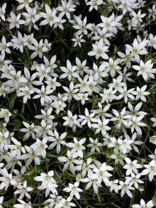 hyacinthaceae       ornithogalum       umbellatum              ornithogale, Dame d'Onze Heures