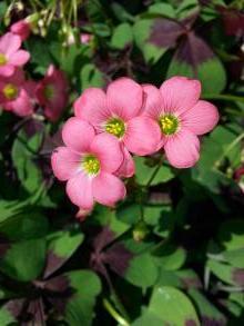 oxalidaceae       oxalis       deppei              oxalis