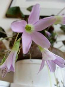 oxalidaceae       oxalis       triangularis       Fanny       oxalis