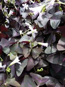 oxalidaceae       oxalis       triangularis       ssp. triangularis       oxalis