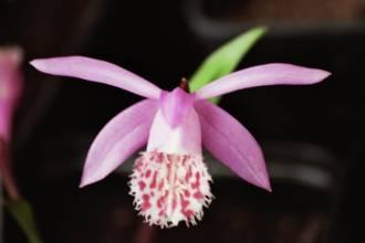 orchidaceae       pleione       bulbocodoides              Orchidée terrestre