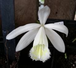 orchidaceae       pleione       formosana       Alba       Orchidée terrestre
