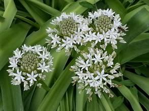 hyacinthaceae       scilla       peruviana       Alba       Scille du Pérou