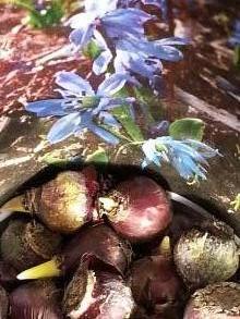 hyacinthaceae       scilla       siberica              Scille de Sibérie