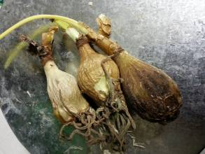 amaryllidaceae       stenomesson       pearcei              stenomesson