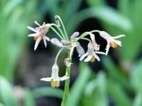 alliaceae       tulbaghia       acutiloba              tulbaghia