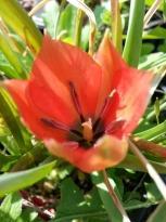 liliaceae       tulipa botanique       batalinii       Red Gem       tulipe