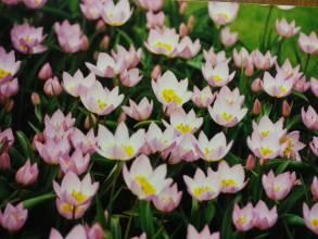 liliaceae       tulipa botanique       bakeri       Lilac Wonder       tulipe