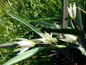 liliaceae       tulipa botanique       biflora              tulipe