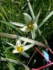 liliaceae       tulipa botanique       bifloriformis              tulipe