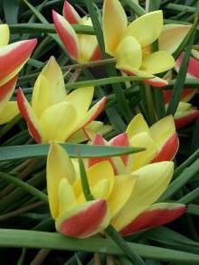 tulipa botanique clusiana cynthia