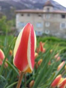 liliaceae       tulipa botanique       clusiana       Tinka       tulipe