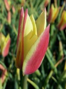 liliaceae       tulipa botanique       clusiana       Tubergen's Gem       tulipe