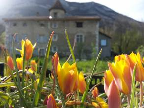 liliaceae       tulipa botanique       clusiana       var chrysantha       tulipe