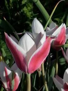 liliaceae       tulipa botanique       clusiana       var. clusiana       tulipe