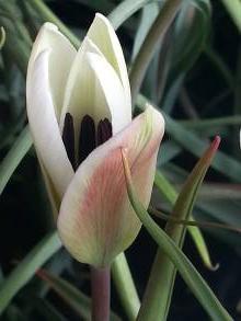 liliaceae       tulipa botanique       clusiana       var. stellata       tulipe