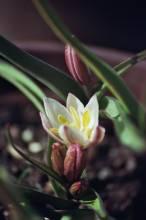 tulipa botanique cretica3 jpg