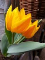 liliaceae       tulipa botanique       heweri              tulipe
