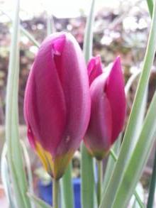liliaceae       tulipa botanique       humilis       China Coral       tulipe