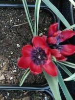 liliaceae       tulipa botanique       humilis       Liliput       tulipe