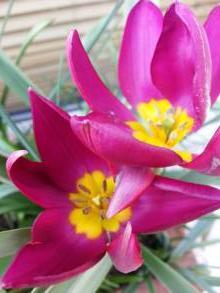 liliaceae       tulipa botanique       humilis       Odalisque       tulipe
