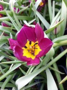 liliaceae       tulipa botanique       humilis       Persian Pearl       tulipe