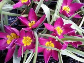 liliaceae       tulipa botanique       humilis       pulchella violacea       tulipe