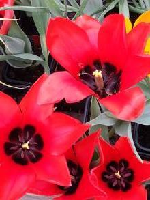 liliaceae       tulipa botanique       ingens              tulipe