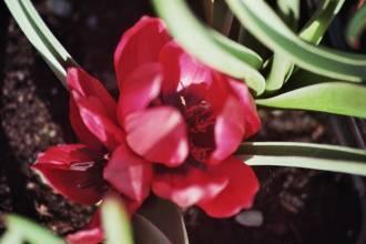liliaceae       tulipa botanique       kurdica              tulipe