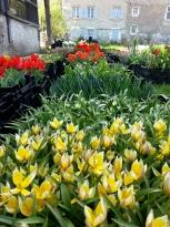 liliaceae       tulipa botanique              Little Star       tulipe