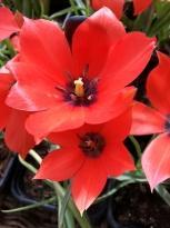 liliaceae       tulipa botanique       maximowiczii              tulipe