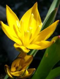 liliaceae       tulipa botanique       neustrueva              tulipe